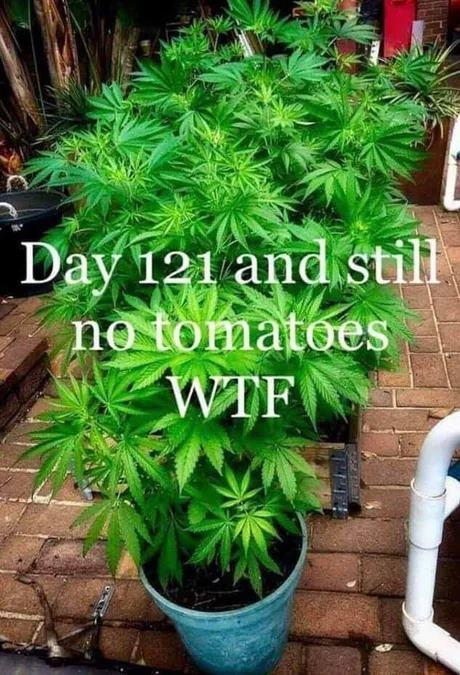 tomatoeplant